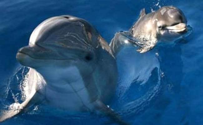 146 Endangered Irrawaddy Dolphins Sighted In Odisha's Chilika Lake