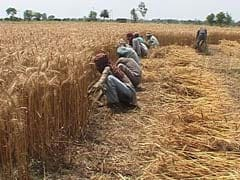 Wheat Payments: Relief Announced by Centre Yet to Reach Punjab Farmers