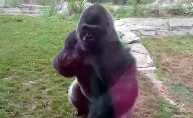 Going Viral: The Moment an Angry Gorilla Charges at Family in Zoo, Cracks Glass Wall