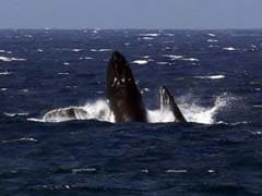 United States Proposes Lifting Protections for Most Humpback Whales