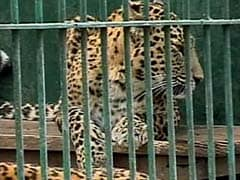 Leopard Skin Recovered in North Bengal, 2 Other Cats Killed by Speeding Vehicles