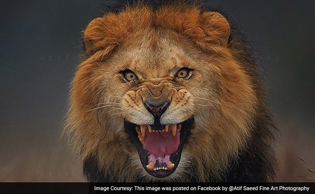 Going Viral: How Pakistani Photographer Took Incredible Photo of Lion From up Close