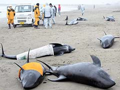 Iceland Says it Killed 184 Whales This Year