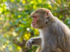Delhi's First Animal Welfare Policy Calls For Birth Control Of Monkeys
