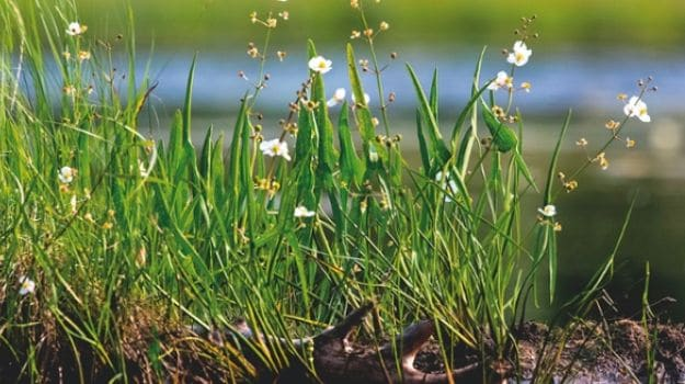 Alys Fowler: Edible Pond Plants for the Tiniest Puddle