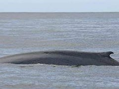 Blue Whales Spotted Off Maharashtra Coast After More Than 100 Years