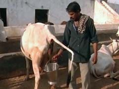BJP Leader Arrested For Making Official Drink Cow Urine