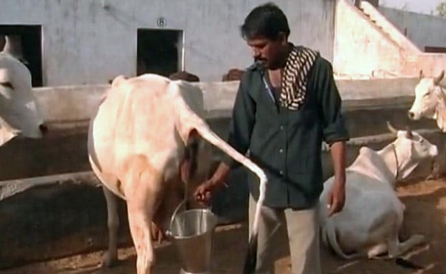 Rajasthan Government Plans to Use Cow Urine as a Disinfectant in Hospitals