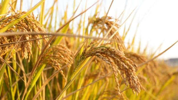 Scientists Have Developed a Gene for Better Rice Varieties