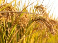 Government Raises Rice Support Prices, Offers to Pay More to Pulse Growers