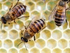 ...जब मधुमक्खी ने कराई प्लेन की इमरजैंसी लैंडिंग