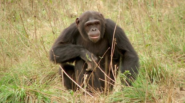 The Naked Chef? Chimpanzees Can 'Cook' and Prefer Cooked Food
