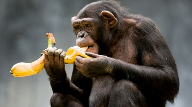 Chimpanzees in West Africa Observed Indulging in Habitual Drinking