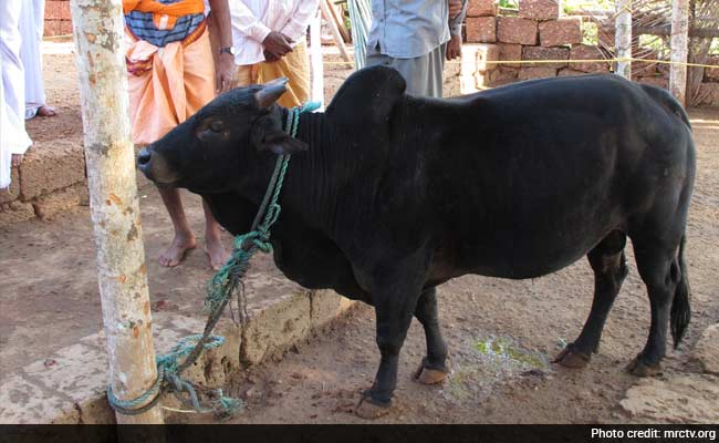 India's Next Weapon Against Climate Change? This Dwarf Cow