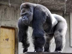 This Gorilla is a Super-Model. And He's Drawing Lots of Women