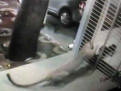 कैमरे में कैद : मुंबई में जब कुत्ते ने खदेड़ा तेंदुए को