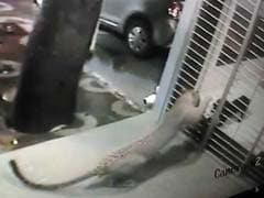 Caught on Camera: Dog Chases Away Leopard From House in Mumbai