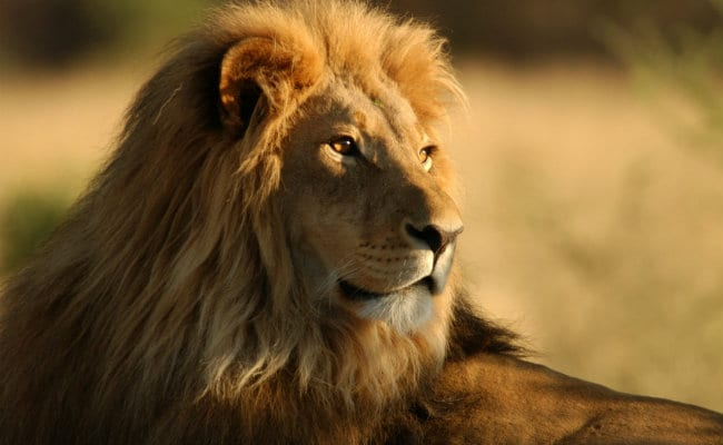 Lion That Escaped National Park Kept In South Africa Jail For A Night