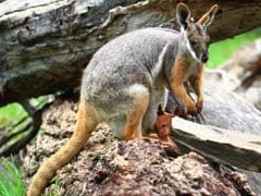 Rare Case of Wallaby Fostering Tree Kangaroo in Pouch