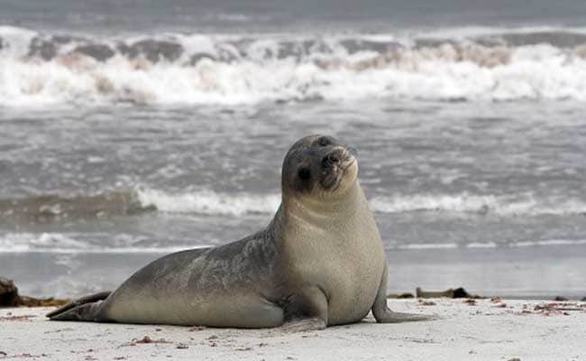 New Zealand: Outrage After Six Baby Seals Found Decapitated