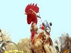 आंध्र सरकार ने हाईकोर्ट से किया वादा,  मकर संक्रांति के दौरान मुर्गा लड़ाई नहीं होने देंगे