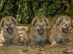 TGIF Treat. Video of 11 New Lion Cubs at Gir Sanctuary in Gujarat