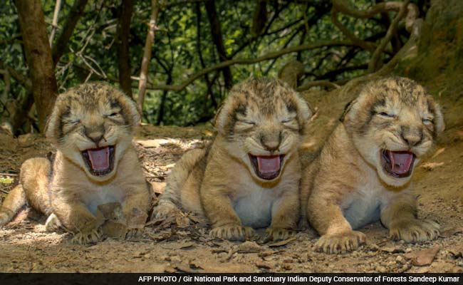 TGIF Treat. Video of 11 New Lion Cubs at Gir Sanctuary in ...
