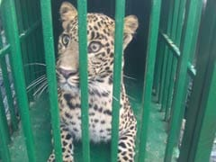 Uttarakhand Man Has Surprise Visitor for 20 Hours: A Leopard