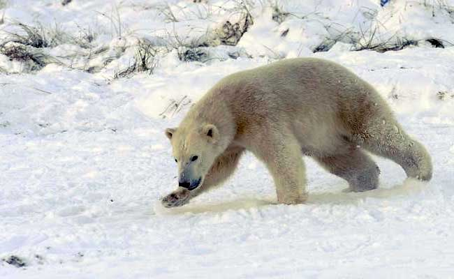 Time To Ditch Polar Bears? Climate Change Looks For A New Image