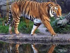 Sunderbans Kids to Learn Tiger Conservation; Educate Elders