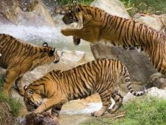 अब जमीन के लिए बाघों के बीच झगड़े, महाराष्ट्र सरकार चिंतित