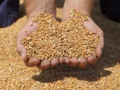 Government to Reinstate Wheat Import Duty After Big Deals: Report