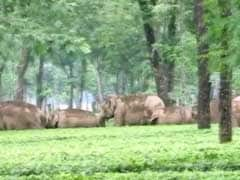 Elephant Herd Barges Into Tea Garden in West Bengal's Jalpaiguri