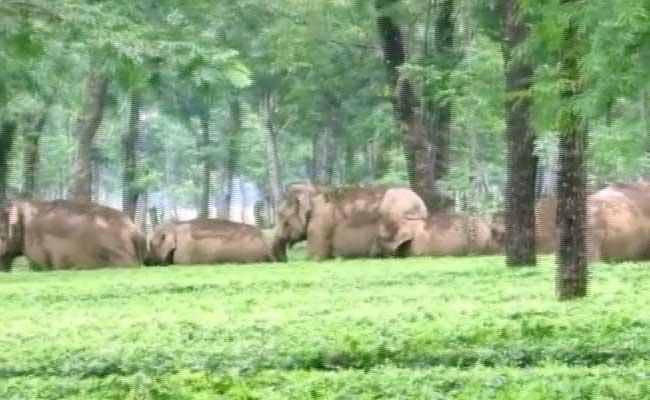Elephant Herd Barges Into Tea Garden in West Bengal's Jalpaiguri