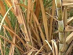 Sugar Output to Fall 5% Due to Poor Rains: Industry Body