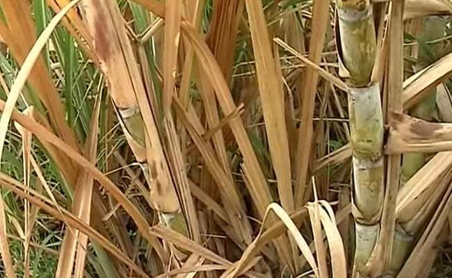 Sugar Stocks Extend Rally As Prices Soar
