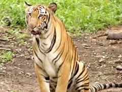 क्या हेलमेट से बाघों से बचा जा सकता है? मध्य प्रदेश का वन विभाग ऐसा मानता है...