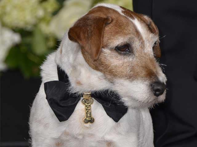 Uggie, Canine Star of The Artist, Put Down at 13