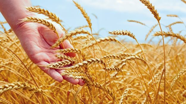 Govt May Hike Import Duty on Wheat to Check Imports