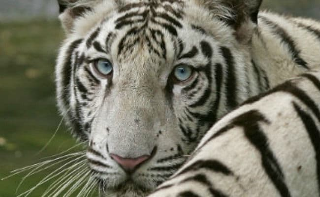 Man Jumps Into Enclosure To Touch Tiger In Pune Zoo