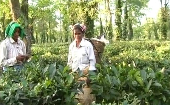 Assam's Tea Workers Pick The Right Time For a Big Wish