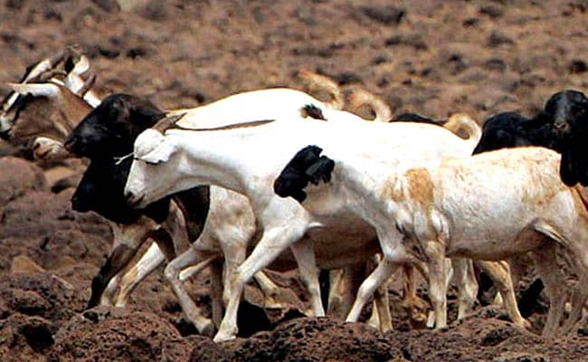 For Bakrid now, goats are on sale online on olx and quickr