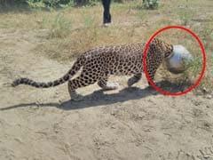 राजस्थान : प्यास बुझाने के चक्कर में कुछ इस तरह आफत में फंसी तेंदुए की जान