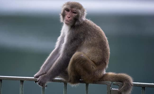 Record Rise In Monkey Bites, Close To 900 Cases Reported So Far In Shimla