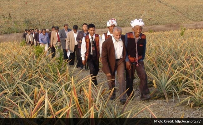 Photo - Sikkim farmers in pineapple field