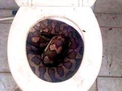 Stuff of Nightmares: Two Large Pythons Found in Toilets in Australia