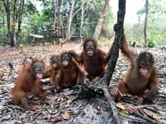 Sick, Hungry Orangutans Fall Victim to Indonesia Fires Crisis
