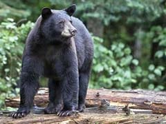 Why 300 Black Bears Were Killed in Less Than a Week in Florida