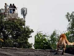 Activists Object Transfer of Captured Tiger to Panna Tiger Reserve