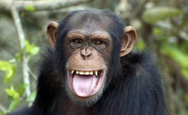 humans did not inherit kindness from chimpanzees who always act in